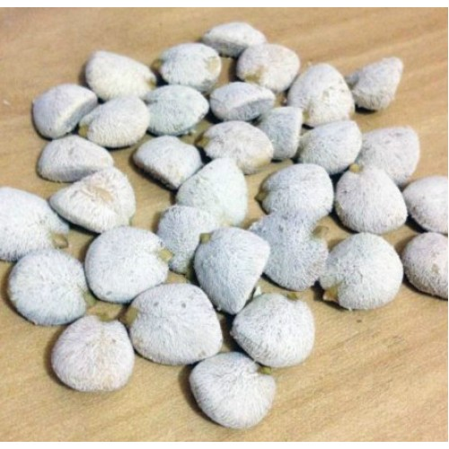 NOZ DA ÍNDIA Kit com 30 sementes